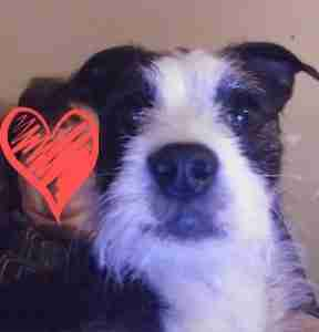 Lost Dog in Crystal Hill /North Little Rock (Pulaski County): black/white terrier-Roscoe