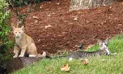 Loose Cat in North Little Rock (Pulaski County) 2 Kittens, 1 Orange and 1 Grey (with 2 Curly White and Grey Dogs)